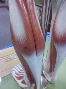 achilles tendon rupture mechanism